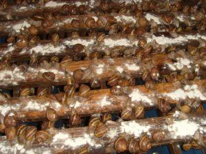 Разведение съедобных улиток в домашних условиях для начинающих