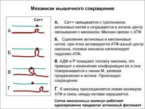 В ходе процесса вызывающего сокращение мышечного волокна