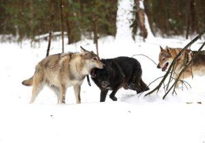 Отстрел волков 2019 ленинградская область правила