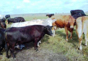 Договор на отгонный выпас крупного рогатого скота